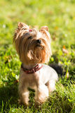 Yorkshire terrier, friendly pet, little dog Royalty Free Stock Photos