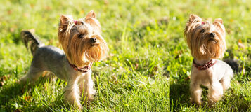 Yorkshire terrier, friendly pet, little dog Royalty Free Stock Image