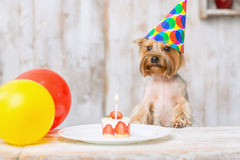 Yorkshire terrier in front of birthday cake. Royalty Free Stock Photo