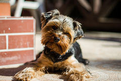 Yorkshire terrier. In the front porch Stock Photography