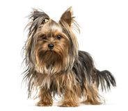 Yorkshire Terrier in front of white background. Isolated on white stock photos