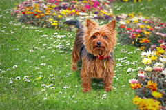 Yorkshire terrier in garden Royalty Free Stock Photos