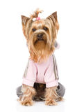 Yorkshire Terrier gekleidet in einem Trainingsnazug Lokalisiert auf Weißrückseite Lizenzfreies Stockfoto
