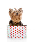 Yorkshire Terrier in gift-box Stock Image
