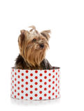 Yorkshire Terrier in gift-box Royalty Free Stock Image