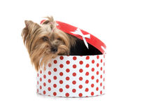 Yorkshire Terrier in gift-box Stock Photos