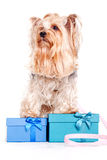 Yorkshire terrier with gift boxes Royalty Free Stock Photography