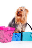 Yorkshire terrier with gift boxes Stock Photography