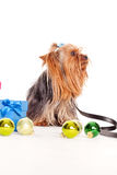 Yorkshire terrier with gift boxes Stock Photo