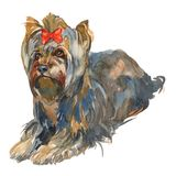 The Yorkshire terrier girl. Hand painted, isolated on white background watercolor Stock Image
