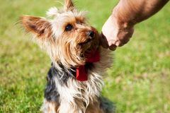 Yorkshire terrier giving paw to his owner. Dog training on green grass Royalty Free Stock Images