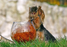 Yorkshire terrier with glass Stock Images
