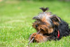 Yorkshire terrier gnawing stick. Puppy Yorkshire terrier gnawing stick lying on the lawn Stock Images