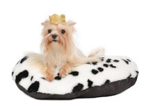 Yorkshire Terrier with golden crown Royalty Free Stock Photo