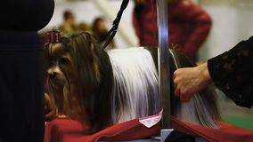 Yorkshire terrier governante alla mostra dell'animale domestico, cane dai capelli lunghi del purosangue della donna stock footage