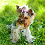 Yorkshire terrier in a grass Stock Photos