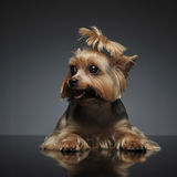 Yorkshire Terrier on the gray graduated background. Yorkshire Terrier on  gray graduated background Royalty Free Stock Photo