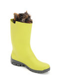 Yorkshire Terrier in  green gumboots Stock Images