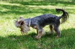 Yorkshire Terrier on a green lawn in a city park stock photos