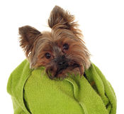Yorkshire Terrier with towel Stock Photos