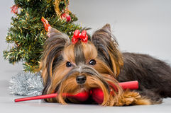 Yorkshire terrier greets the New Year Stock Image