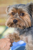 Yorkshire terrier is groomed Royalty Free Stock Images
