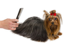 Yorkshire Terrier grooming with brush Royalty Free Stock Photos