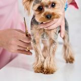 Yorkshire terrier on grooming Royalty Free Stock Image
