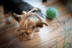 Yorkshire terrier Stock Images