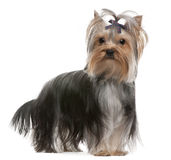 Yorkshire Terrier with hairbow, 13 months old Royalty Free Stock Photo