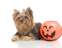 Yorkshire Terrier with halloween pumpkin, Royalty Free Stock Photos