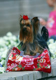 Yorkshire terrier with handbag Stock Photography