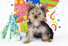 Yorkshire Terrier Happy Birthday Party. An adorable four month old Yorkshire Terrier Puppy with a Happy Birthday Theme Royalty Free Stock Photo
