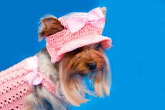 Yorkshire terrier in hat. Portrait yorkshire terrier in pink gown and hat Royalty Free Stock Photos