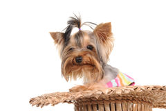 Yorkshire Terrier in the hat Stock Image
