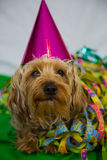 Yorkshire terrier with hat, carneval Stock Images