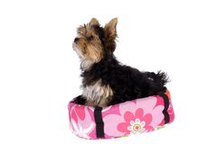 Yorkshire Terrier in her basket Stock Image