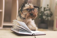 Yorkshire terrier with her paw on top of the book wearing glasses stock image