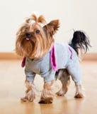 Yorkshire Terrier in het algemene blijven op vloer Stock Afbeeldingen