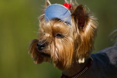 Yorkshire Terrier in his cap from the sun looking into the dista Stock Photo