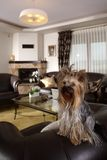 Yorkshire Terrier at home Stock Photography