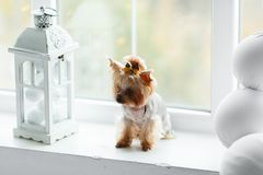 Yorkshire terrier at home new year with christmas decoration as background Royalty Free Stock Image