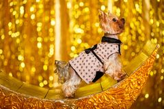 Yorkshire terrier at home new year 2018 with glowing golden bokeh as background Stock Images