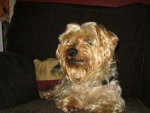 Yorkshire Terrier hund royaltyfri bild