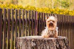 Yorkshire Terrier hund Fotografering för Bildbyråer