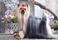 Yorkshire Terrier hund royaltyfria bilder