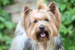 Yorkshire-Terrier, Hund in meinem Garten lizenzfreies stockbild