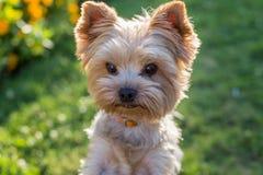 Yorkshire Terrier hund på det gröna gräset Arkivbilder