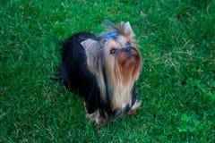 Yorkshire Terrier hund på det gröna gräset Arkivfoton