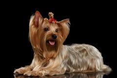 Yorkshire Terrier hund som ligger på spegeln, guld- hår, isolerad svart Royaltyfria Bilder
